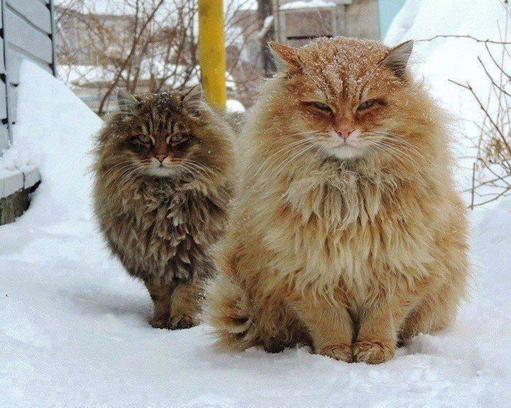 Norwegian-Forest-Cats-