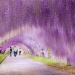 Japan, Wisteria.