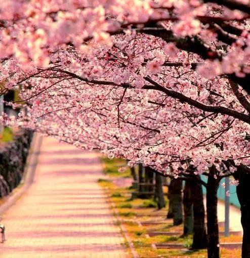 cherry_blossom_tree3