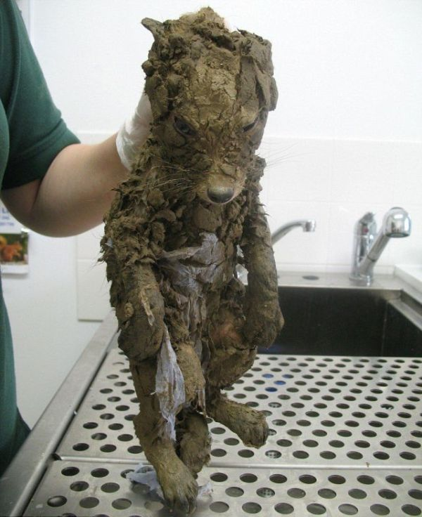 fox_caked_in_mud_rescued_from_hole_01