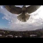 Hawk attaks drone!