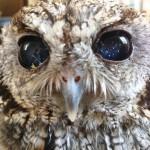 Meet Zeus, Blind Owl, Amazing Eyes, Must See!