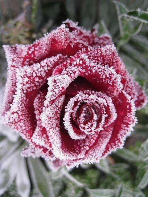 frozen flowers3