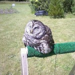 Have You Seen A Owl Enjoy The Sun To The Point That They See To Be Melting?