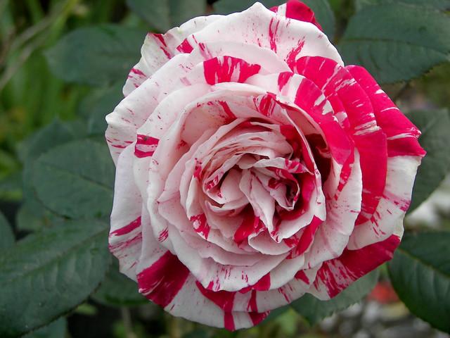 rare roses4