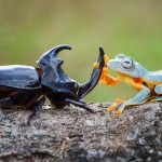 Amazing Photos Of A Tiny Frog Riding On A Beetle's Back