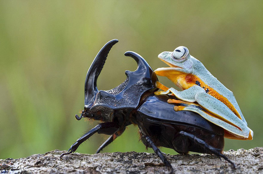 Amazing Photos Of A Tiny Frog Riding On A Beetle's Back2