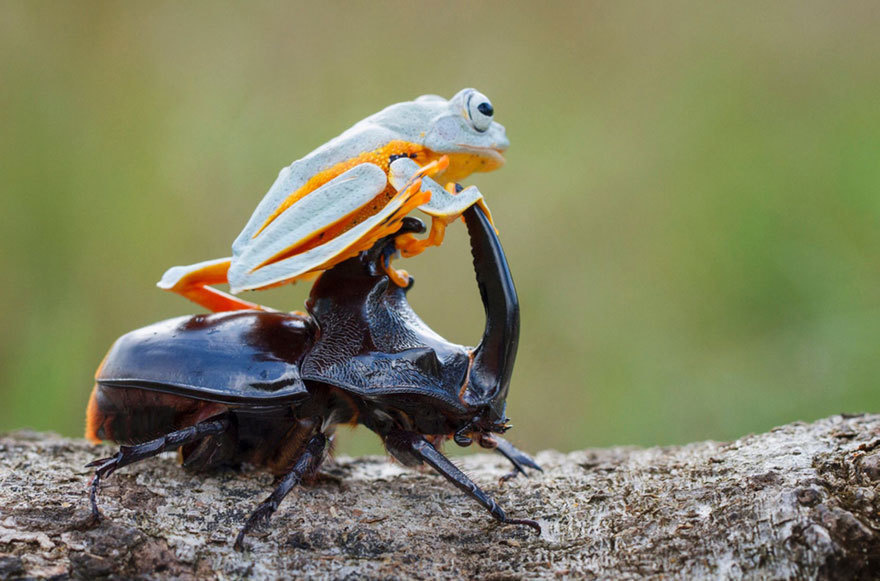 Amazing Photos Of A Tiny Frog Riding On A Beetle's Back3
