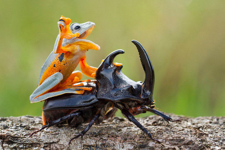 Amazing Photos Of A Tiny Frog Riding On A Beetle's Back4