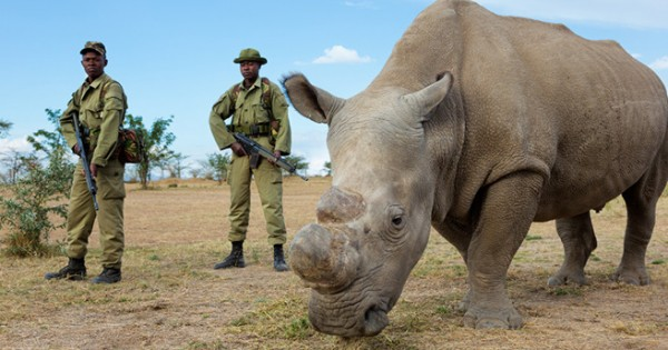 Bodyguards Protect One Of Six Remaining Northern White Rhinos