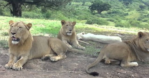 Did You Know Lions Could Open Car Doors?