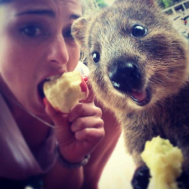 Quokka Selfie, Australia3