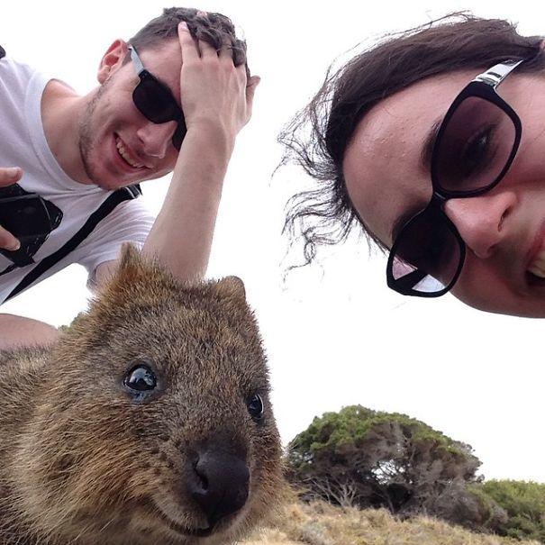 Quokka Selfie, Australia7
