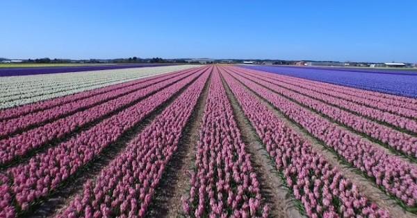 Drone Footage, Dutch Flower Fields