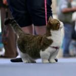 Munchkins Cats (Short-Legged Cats)
