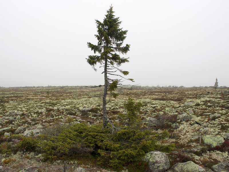 Oldest Tree On Earth, 9550 Year-Old, Sweden