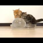 Cats Enjoying Giant Ice Ball