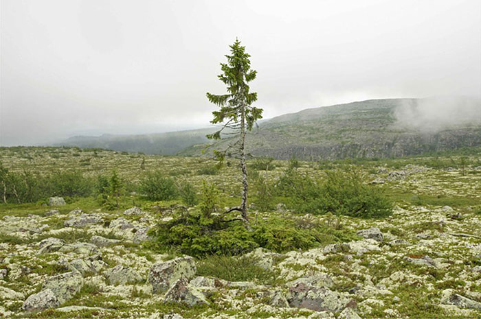 9,500-Year-Old Tree Found in Sweden Is The World's Oldest Tree2