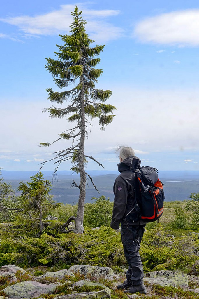 9,500-Year-Old Tree Found in Sweden Is The World's Oldest Tree4
